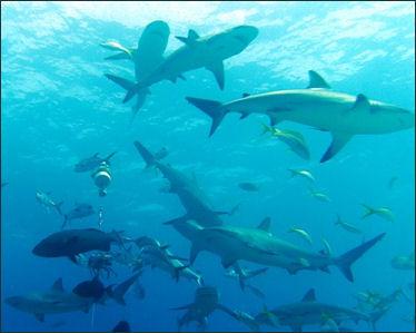 Emergentismo - Página 2 20120517-shark%20AttacCarcharhinus_perezi_bahamas_feeding