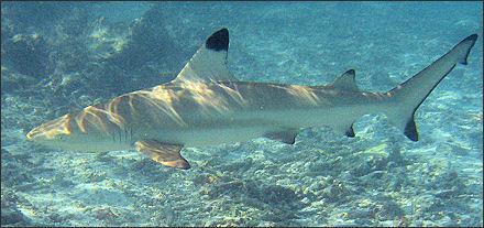 20120518-Blacktip_reef_shark.jpg