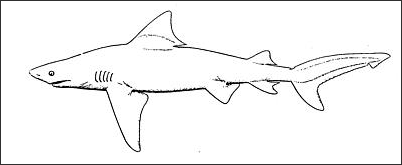 BULL SHARKS AND BULL SHARK ATTACKS | Facts and Details