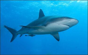 20120518-Carribbean_reef_shark.jpg