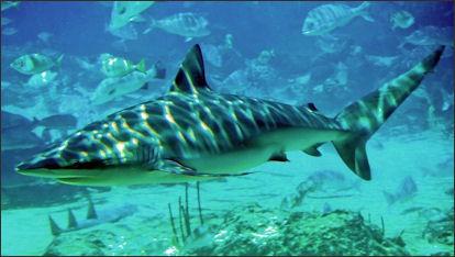 20120518-Dusky_shark_seaworld.jpg