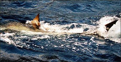 20120518-Great_white_shark_100.JPG