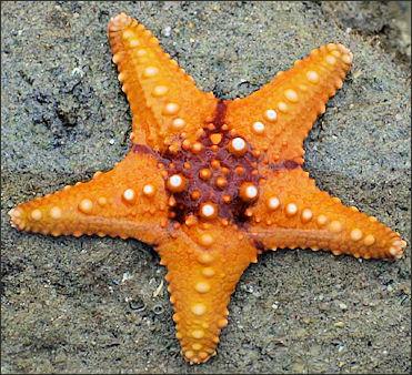 20120518-Starfish_02_(paulshaffner).jpg
