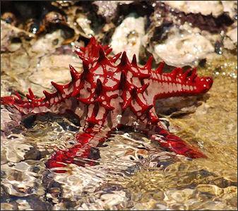Pucker up star fish