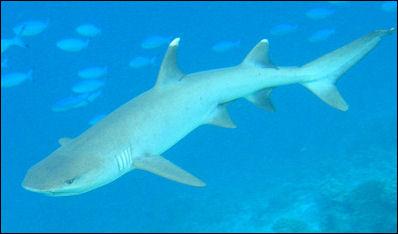 20120518-Whitetip-reef-shark.jpg