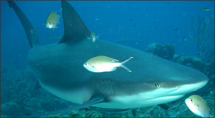 BULL SHARKS AND BULL SHARK ATTACKS   Facts and Details