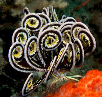 20120519-800px-Lamprometra_sp__(Feather_star).jpg