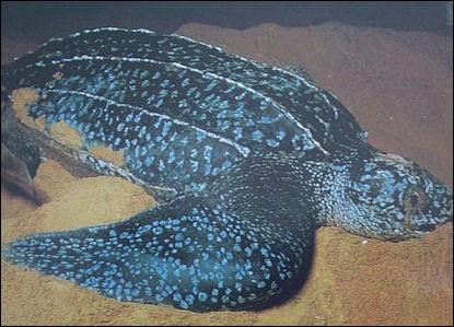 20120519-Leatherback.jpg
