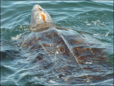 20120519-Leatherback_sea_turtle_benson_swfsc.jpg
