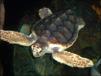 Sea Turtles  Epcot Attractions  Walt Disney World Resort