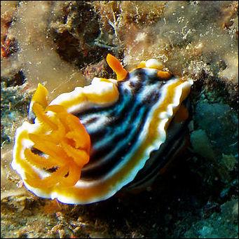 20120519-NudibranchChromodoris_magnifica_(Nudibranch).jpg