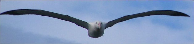 Albatrosses Facts And Details