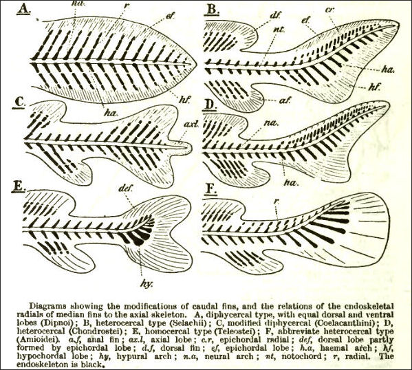 OCEANIC FISH—: THEIR HISTORY, CHARACTERISTICS, MOVEMENT AND SENSES ...