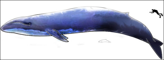 20170521 Blue Whale And Hector Dolphine Colored Jpg