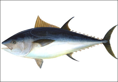 20120521-Bluefin-big.jpg