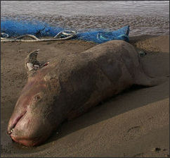 20120521-Dead_Rissos_Dolphin_on_Norwick_beach.jpg