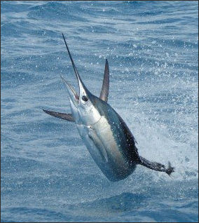 Marlin vs swordfish - photo#21
