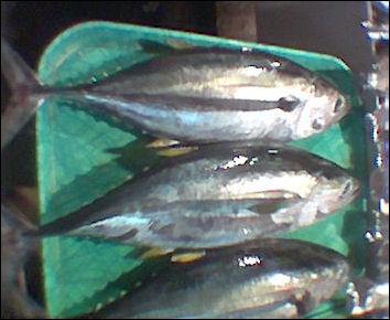 20120521-Thunnus_albacares_Philippine_Market_01.jpg