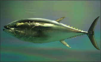 20120521-bluefin tunaPacific_bluefin_tuna.jpg