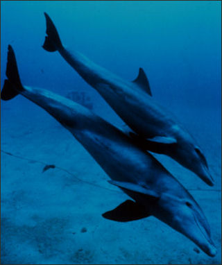 20120522-Bottlenose_dolphin_mother_and_juvenile.jpg