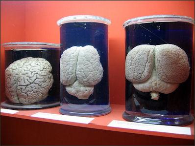 20120522-Cerveaux_hommes_rhinoceros_et_dauphin.JPG