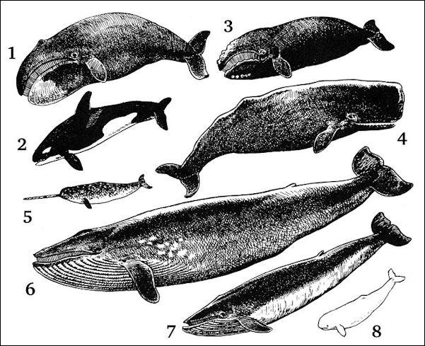 20120522-Cetacea.jpg