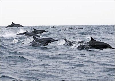 20120522-Dolphins_Oman-2.jpg