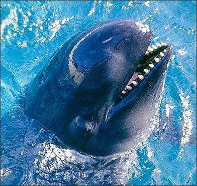 20120522-False_Killer_Whale.jpg