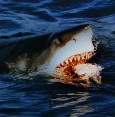 20120522-Great white shark going for bait.jpg