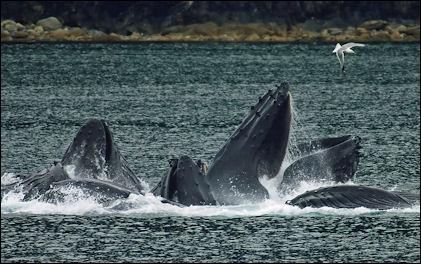 20120522-Humpback-whaleWhales_Bubble_Net_Feeding-edit1.jpg