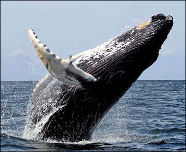 20120522-humpback_stellwagen jpg humpback whale