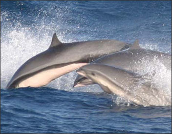 ENDANGERED CHINESE DOLPHINS, THE VAQUITA AND OTHER SPECIES OF ...