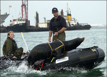 20120522-seal US_Navy_California_sea_lion_leaps_back_into_the_boat_following_harbor_patrol_training.jpg