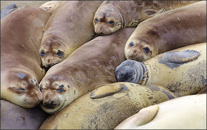 20120523-Elephant_seal_colony_edit.jpg