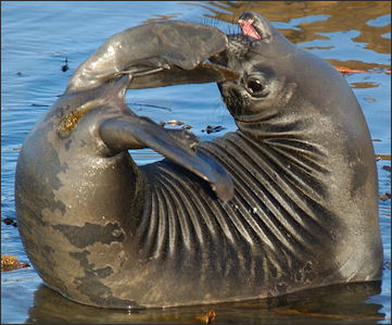 20120523-Elephant_seals pup ckr_-_NOAA_Photo_Library.jpg