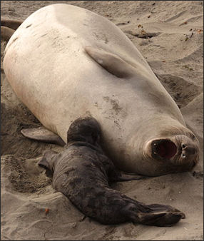 20120523-Elephant_sealsFemale_northern_elephant_seal_with_pup.jpg