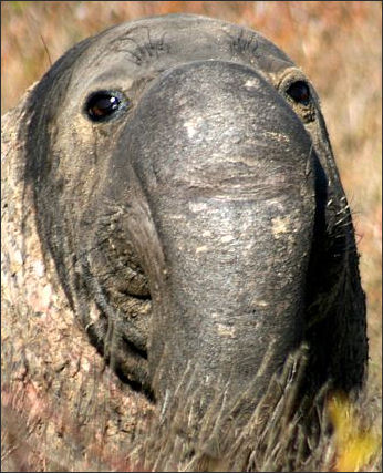 20120523-Elephant_sealsMale_elephant_seal.jpg