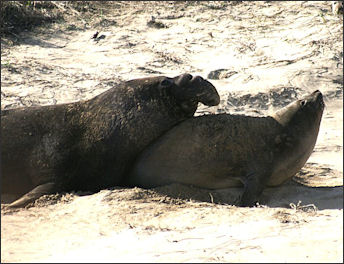 20120523-Elephant_sealsMating_elephant_seals_3.jpg