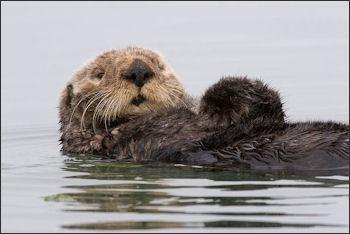 20120523-Sea-otter-morro-bay_13.jpg