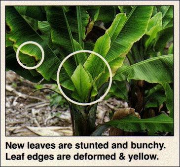 20120525-Banana_Bunch_Top_Virus.jpg