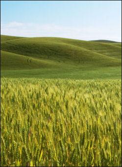 20120525-Barley_field-2007-.jpg