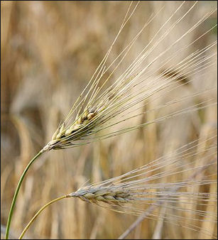 20120525-Barley_fruit.jpg