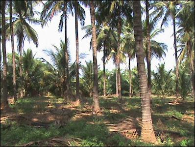 20120525-Coconut-farm.jpg