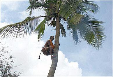20120525-Coconut_(1).jpg