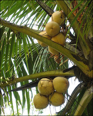 20120525-Coconut_Yellow.JPG