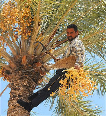 20120525-Dates_on_date_palm_get_harvested.jpg