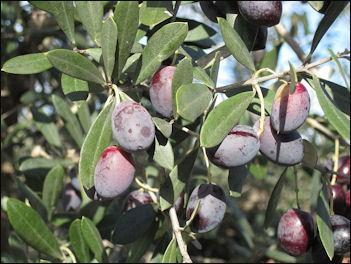 20120525-Olives_on_tree.jpg