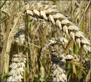 20120525-Wheat_close-up.JPG