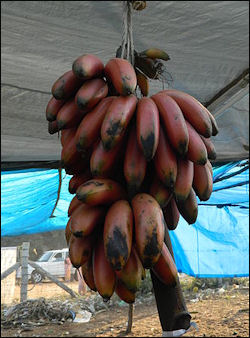 20120525-bananasBunch_of_Red_Banana.JPG