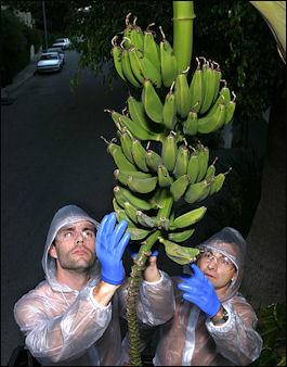 20120525-bananasFallenFruit_StreetBananas.jpg